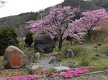 桜開花状況2