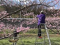 果樹の栽培作業が本格化しています。