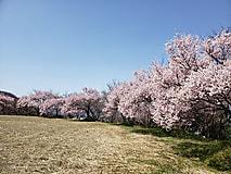 いよいよ桜の開花です。