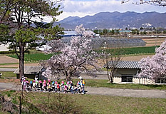 農大松代キャンパス、桜が見ごろ!
