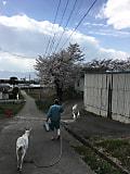 桜の中、山羊のご帰宅です