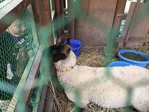 仔羊貸し出し
