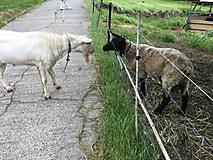 山羊さんの引っ越し