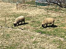 放牧始まりました(羊)
