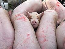 さよなら豚さん