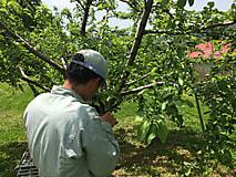 りんごの摘果最盛期