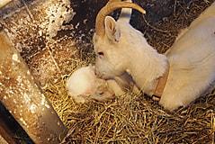 子ヤギ誕生