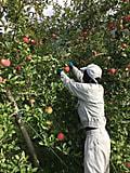 りんごの収穫も終盤です